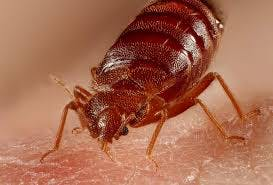 Are Bed Bugs Dangerous?