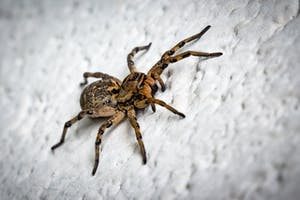 Exterminate Spiders In Folsom, CA and El Dorado Hills