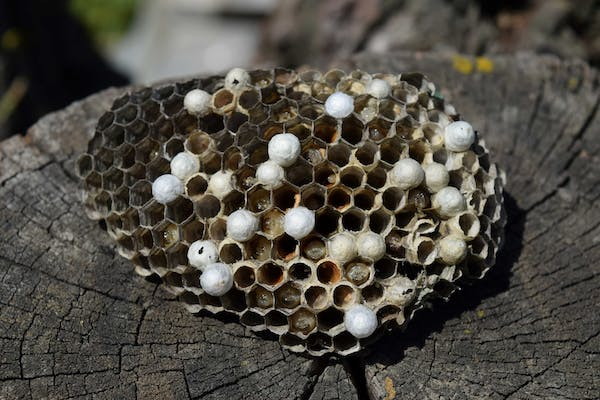 Image of a wasp nest on Stump Removal in Dallas