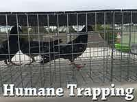 Pigeon Trapping Services