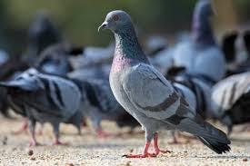 Bills pigeon control phoenix